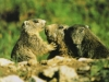marmottes-pyrenees