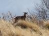 femelle-du-mouflon