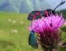 fleur-pyrenees