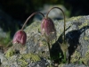 pulsatile-fleur-pyrenees