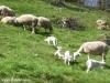 vacances famille pyrenees pleine nature brebis